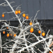 ロウヤガキ 老鴉柿