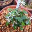 ナチコバダイモンジソウが咲きました