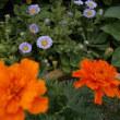 🎵~今年もダルマ菊の花が咲く