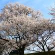 桜、さくら、サクラ (138タワーパーク木曽川堤)