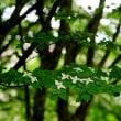 再びブラシノキの花(赤塚植物園)