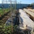 エンドウ畝の準備開始
