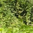 カナムグラのが雄花序いくつも