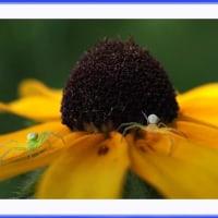 花蜘蛛の競演