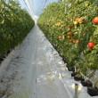 トマトの視察
