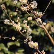 梅咲く小石川植物園