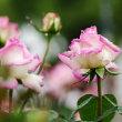 雨に濡れたピンク色のばら 2018
