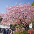 2018.03.17 上野公園: 早、桜満開!