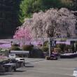 三田の芝桜公園花絨毯 2