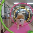 新入犬の【ころんちゃん】  犬のしつけ教室@アロハドギー