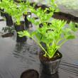 白菜&セロリの定植