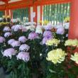 大宮氷川神社菊祭り