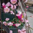 我が家の梅の花♪