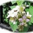 ブラックベリーの花・・・ハヤシライス。