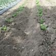 ジャガイモに土寄せ