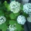 庭の花(あじさい)