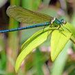 メタリックな青緑色が美しい! ニホンカワトンボ(日本川蜻蛉)