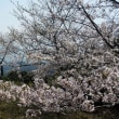 Cherries in full bloom