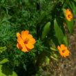 初秋を彩る花たち・・・コスモス、ヤブカンゾウ、ハナセンナ、ノウゼンカズラ他