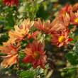 陽だまりに咲く小菊の花と蝶