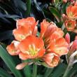 季節の花「君子蘭(くんしらん)」