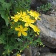 庭に咲いたサワオトギリ