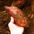 『さつまいもの日』安納芋の収穫♪