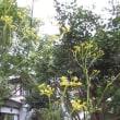 もう立秋ですね、オミナエシが咲き始めたよ。