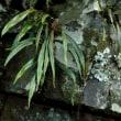 ノキシノブ 大籠の岩壁