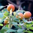 庭で「ハマナス」の実が真赤に色付いてきました!・・・野生種バラ ローズヒップ