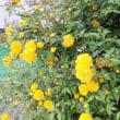 ヤマブキ 山吹 八重咲き