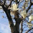 廻るもの 季節の花 木蓮