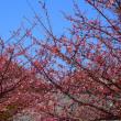 『河津桜』 善福寺