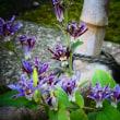 『今日の誕生花』 ホトトギス