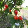 スダチ・柚子の花が満開