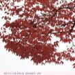 ケヤキ 〈欅〉 紅葉