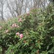 友と火燈古道の石楠花を見に行きました。