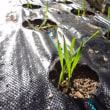 小麦畑開墾・・・ガスバーナーでマルチに穴を空けて小麦を植える