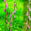 ネジバナ「捩花」