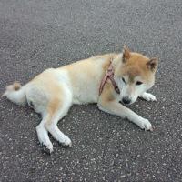 老犬テルちゃん