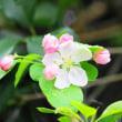 ノカイドウの花・・・鹿児島の風景