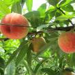 5月28日の桃です。