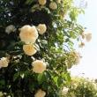 *白薔薇*