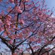 信松院の河津桜が見頃です 2018.3.11