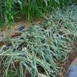 タマネギを収穫