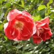 12月10日のスミレと赤のバラ