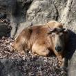 多摩動物公園のゴールデンターキン フウカ。