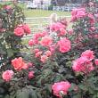 刈谷市ミササガ記念公園の今年の薔薇