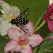 フタスジヒラタアブの幼虫