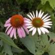 ♪~エキナセアの花~♪